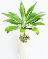 아가베ㆍ용설란 흰색분(1m이상)