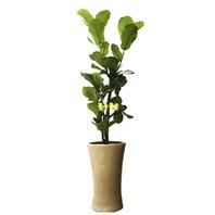 K-떡갈나무 (1m50가량)