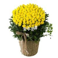 비누꽃 노랑100송이바구니
