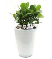 크루시아 흰색분(60~80가량)