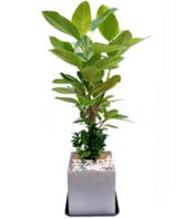 뱅갈고무나무 테이블형(30~50가량)
