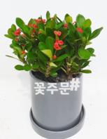 꽃기린 (30~50가량)