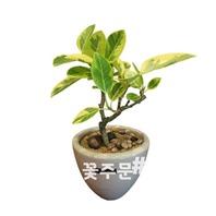 뱅갈나무 테이블형